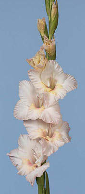 how to cut back gladiolus